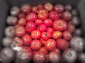 shannon hayes tomatoes 1