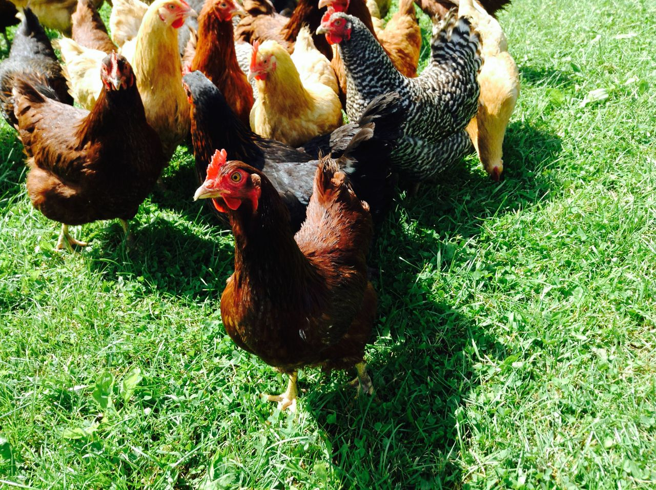 Sap Bush Hollow Farm chickens