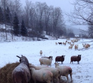 farm animals snow